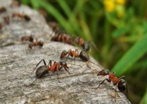 carpenter ants control Abbotsford and carpenter ants control Burnaby and carpenter ants control vancouver